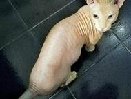 Ищем кошечку Сфинкса (донского) для вязки Ищем кошечку Сфинкса (донского) для вязки. Красивый, брутальный котик! ), Анапа - Вязка кошек (случка)