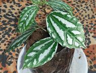 Пилея - отросток комнатного растения Это выносливые декоративно лиственные растения, вырастающие в высоту до 40 см. Пилея Кадье разрастается очень быс, Казань - Разное