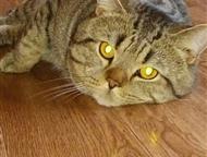 Новосибирск: Шотландский котик Скоттиш страйт Шотландский котик приглашает кошечку на вязку
