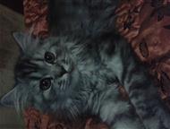 Кошечка хочет котика Британская длинношерстная полтора года! чистая ! без документов, Омск - Вязка кошек (случка)