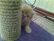 Вязка, Персидская кошка ищет классического перса, Вязка. Ищем классического перса. Кошка развязана, на улице не бывает. Без прививок. На последней фот, Ростов-На-Дону - Вязка кошек (случка)